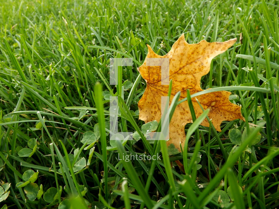 Fall leaf in a field of grass.