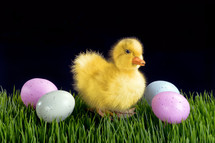 duckling and Easter eggs on green grass with black background for Easter