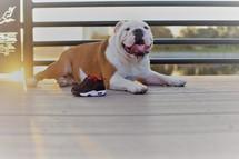 A bulldog panting on a deck