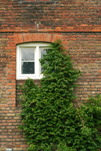 Ivy growing up a brick wall covering a window.