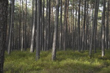 tall pine trees in a forest and grass on the forest floor
