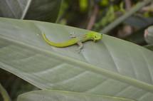 Small gecko in the lush jungle