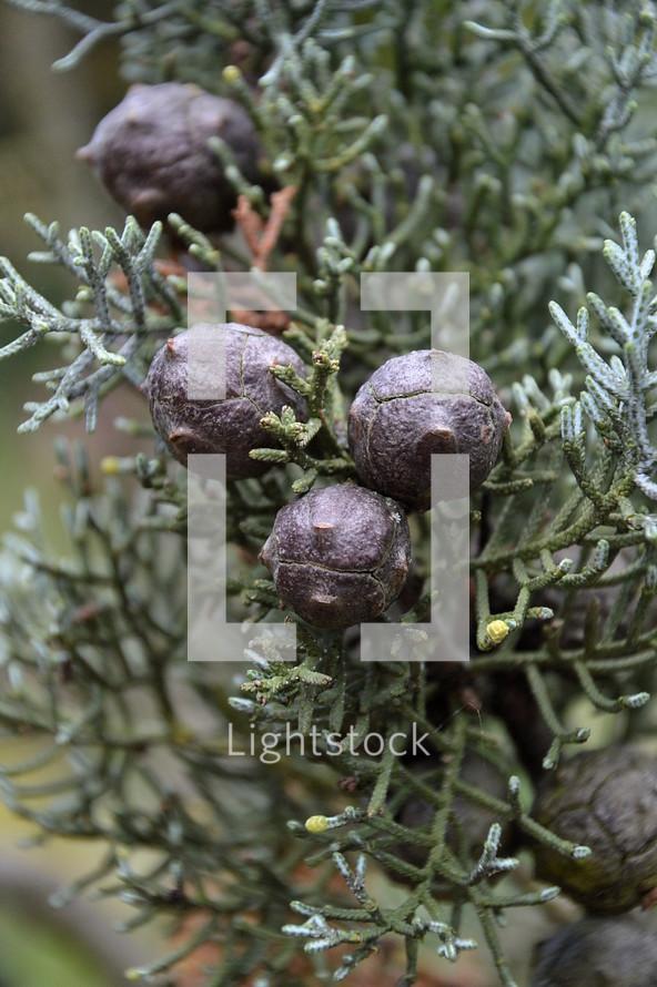 juniper berries on a bush