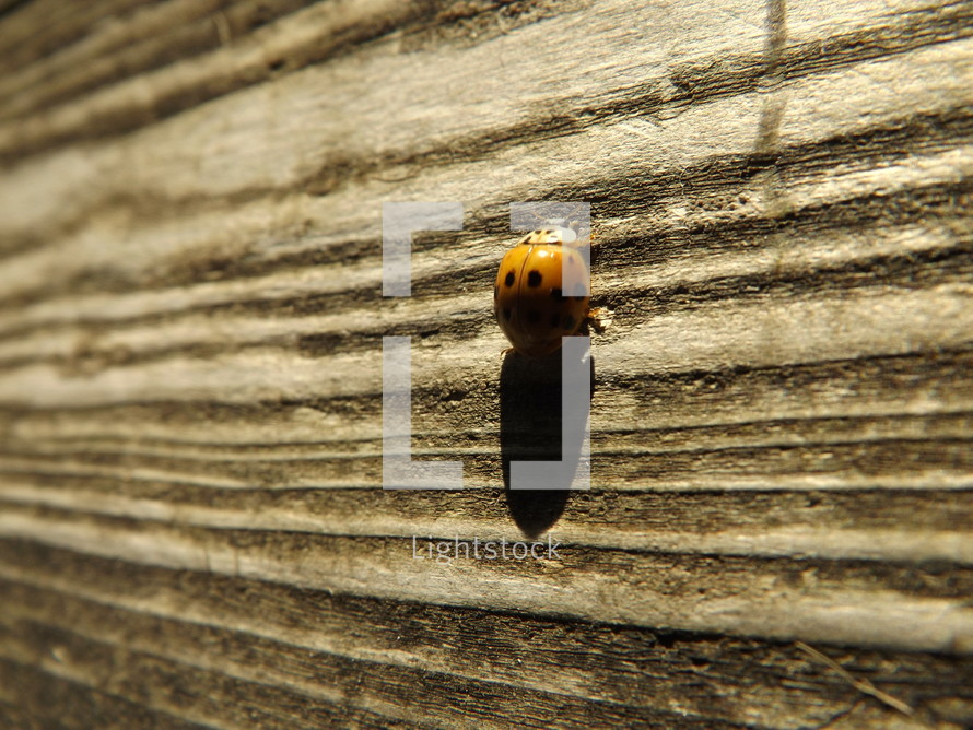 Ladybug on wood.