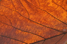 Sun shining through autumn leaf