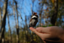 a song bird in a hand