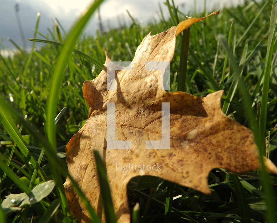 Autumn leaf on the lawn.