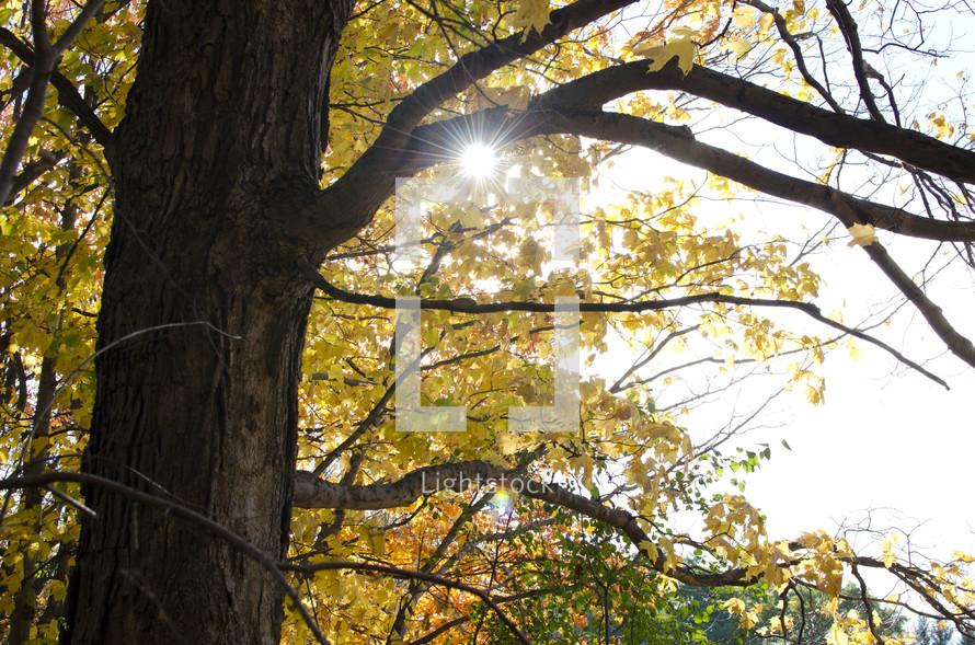 Sunlight through the fall foliage.
