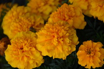 bright orange marigolds autumn flowers.