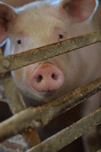 cute pig in a pigsty with the focus on the snout