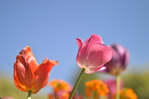 tulips in front of blue sky.