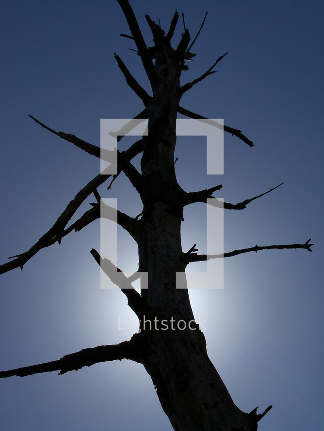 A dead pine tree and dead branches that once bore fruit standing in the sunlight until it withers away showing signs of drought and climate conditions causing plants, trees and vegetation to wither away due to extreme heat and drought conditions.