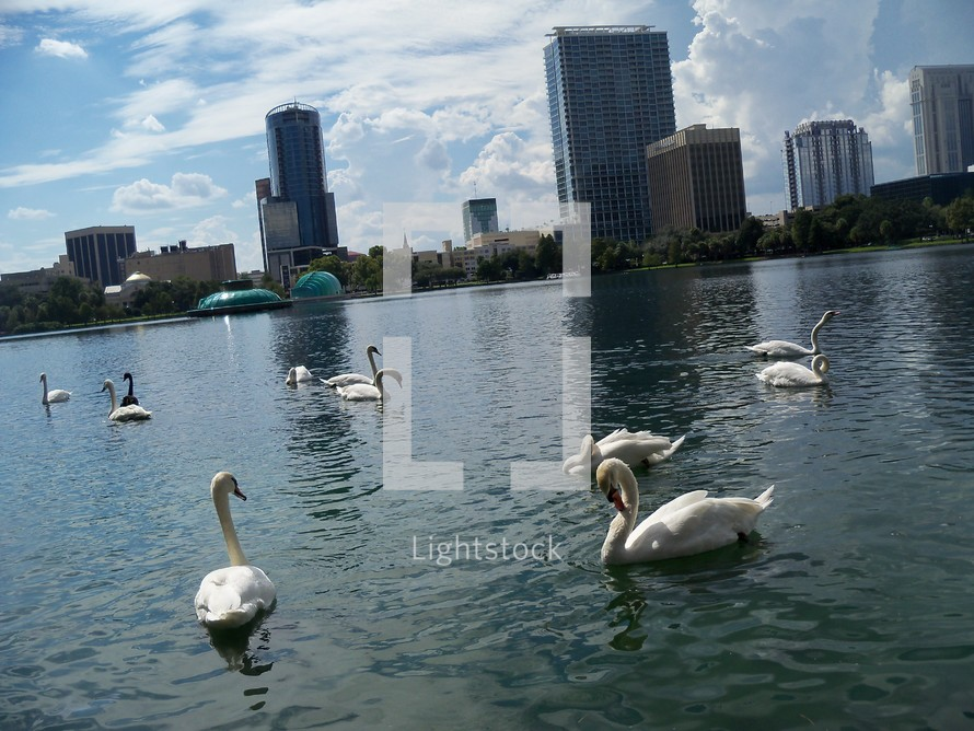 Swan Lake - A group of Swans take a summer swim in Lake Eola in Orlando, Florida with the corporate skyline of downtown Orlando in the background. A peaceful setting in a park within the city reflecting city life, urban renewal and nature and man living side by side.