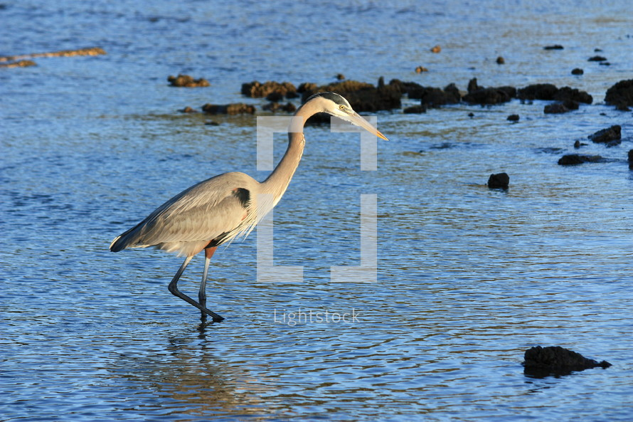 blue heron and rocky shore