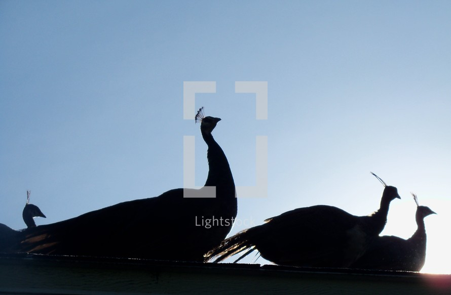 Silhouette of a family of peacocks at sunrise.