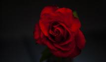red English rose