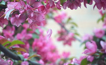Tree branches full of pink blossoms.