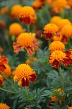 bright orange marigolds autumn flowers.