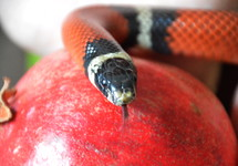 snake with forbidden fruit. snake, sin, temptation, serpent, Genesis, fruit, bible, forbidden, evil, tempting, tempt, tempted, liar, lie, lying, belie, untruth, ensnare, ensnaring, mislead, misleading, allure, alluring, delude, deluding, delusion, inveigle, entrap, trap, debauch, betray, deprave, lure, luring, venom, coiling, coil, coiled, color, signal color, red, white, black, the Fall, the Fall of Man, lapse, Adam, Eve, apple, pomegranate, persimmon, kaki, prohibited, interdict, interdicted, prohibit, prohibition, interdiction, forbiddance, restraint, ban, reptile, danger, poison, poisonous, tongue, forked, image, promise, false, false promise
