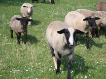 Flock of sheep in a field of grass.