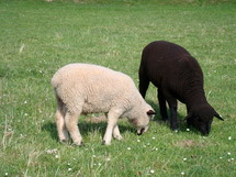 black and white sheep, 