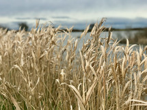 tall brown grasses