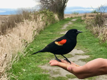 a black bird eating seed out of a hand