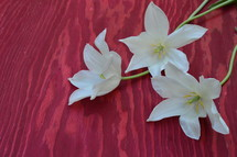 white lilies on a red wood background