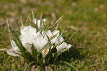 white crocus flowers