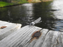 dragonfly on a dock