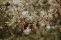 pine cones on a pine branch