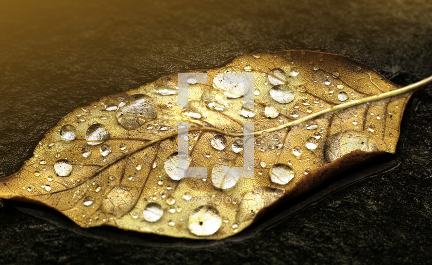 A droplet laden leaf illuminated with a warm light.