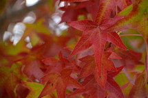 Bright red autumn leaves at a tree.