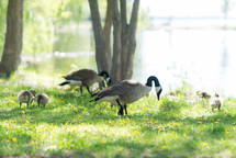 Cananda Geese and goslings