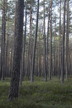 quiet forest with pine trees