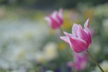 pink tulips with white rims in a meadow.