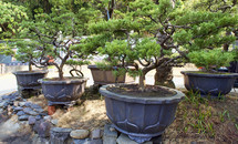 potted bonsai trees