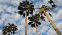 A group of rising palm trees reach out to the sky from an upward glance against a blue and white cloudy sky during a tropical summer day.