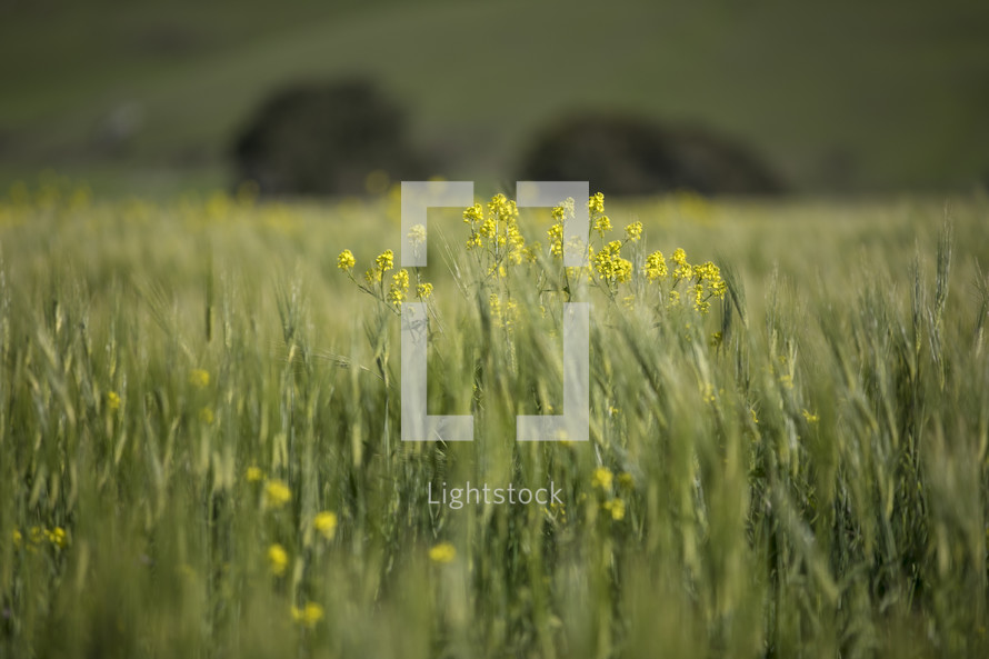 field of tall grasses