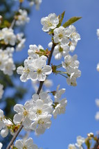 white blooming cherry tree in front of bright blue cloudless sky