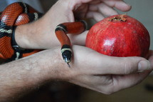 snake with forbidden fruit. snake, sin, temptation, serpent, Genesis, fruit, bible, forbidden, evil, tempting, tempt, tempted, liar, lie, lying, belie, untruth, ensnare, ensnaring, mislead, misleading, allure, alluring, delude, deluding, delusion, inveigle, entrap, trap, debauch, betray, deprave, lure, luring, venom, coiling, coil, coiled, color, signal color, red, white, black, the Fall, the Fall of Man, lapse, Adam, Eve, apple, pomegranate, persimmon, kaki, prohibited, interdict, interdicted, prohibit, prohibition, interdiction, forbiddance, restraint, ban