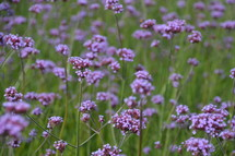 meadow out of delicate, little, lilac blossoms