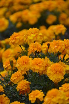 bright orange marigolds autumn flowers. autumn, fall, orange, flower, sunshine, nice, lovely, passion, dear, dearest, fine, pleasant, fair, pretty, flowers, bloom, blossom, bright, plant, shrub, flourish, creation, close, green, leaf, leaves, beauty, beautiful, color, colour, romance, romantic, romantically, soft, velvet, close, sun, shining, outdoor, nature, natural, grow, growing, growth, increase, sprout, prosper, turn, raise, dainty, wonder, miracle, marvel, fascinating, sunlight, light, bright, shine, blur, up close, delicate, slender, vegetation, thrive, thrift, flourishing, chance, season, develop, developing, evolve, evolving, process, processing, cultivate, cultivating, seed, seeds, pistil, pistils, petals, petal, leaf, leaves, yellow, carnations, carnation, marigold, marigolds