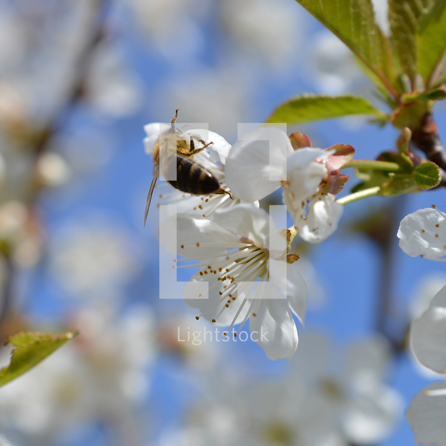 bee on a spring flower