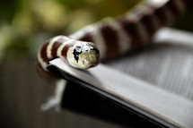 snake with bible opened up at Genesis. snake, sin, temptation, serpent, Genesis, fruit, bible, forbidden, evil, tempting, tempt, tempted, liar, lie, lying, belie, untruth, ensnare, ensnaring, mislead, misleading, allure, alluring, delude, deluding, delusion, inveigle, entrap, trap, debauch, betray, deprave, lure, luring, venom, coiling, coil, coiled, color, signal color, red, white, black, the Fall, the Fall of Man, lapse, Adam, Eve, prohibited, interdict, interdicted, prohibit, prohibition, interdiction, forbiddance, restraint, ban