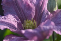 delicate purple clematis up close