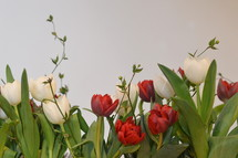 Row of red and white tulips in front of a white background. 