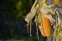 harvested corncobs.  corn, cob, corncob, corn cob, mealie, mielie, yellow, harvested, harvest, thanksgiving, thanks, fruits, fruit, first, firstfruit, crops, field, festival, exodus, vegetable, vegetables, autumn, fall, greenstuff, crop, yield, harvesting, rich, bountiful, plentiful, plenty, bounteous, gather, reap, bring in, produce, abundant, abundance, present, thanks giving, harvest festival, november, garden, gardening, food, eat, eating, groceries, grocery, nourishments, nourishment, biomaterials, biomaterial, biological, organic, biologic, biologically