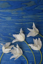 white tulips on a blue wood background