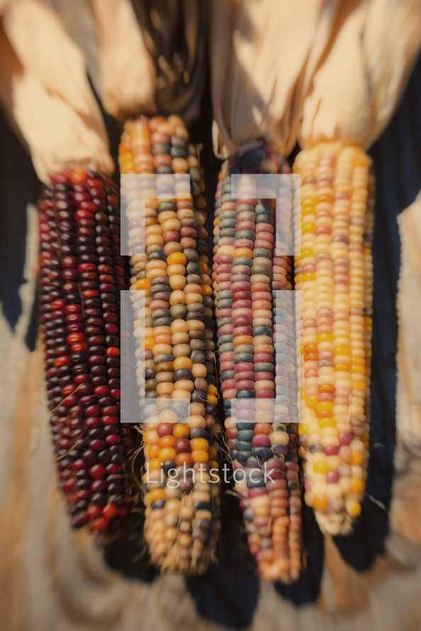 fall corn - maize